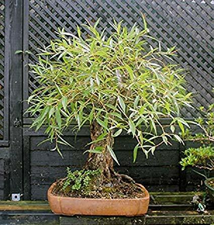 Bonsai Globe Willow Tree Thick Trunk Cutting Exotic Bonsai Material