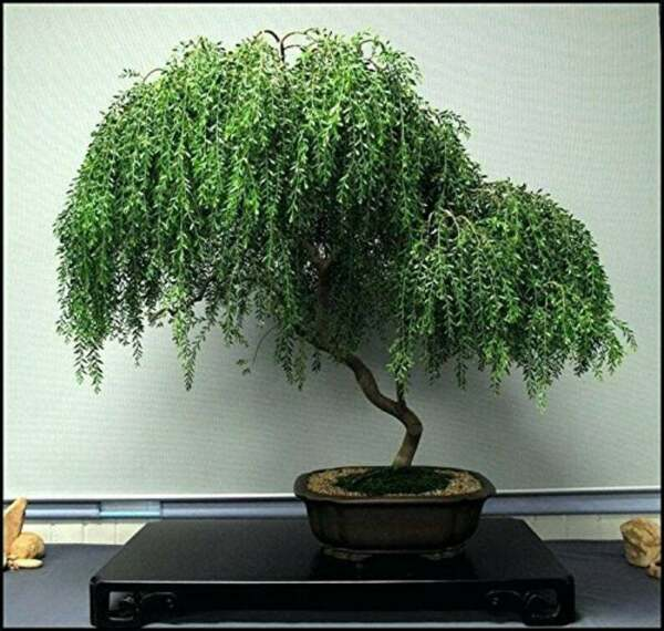 Bonsai Dwarf Weeping Willow Tree Thick Trunk Cutting Exotic Bonsai Material