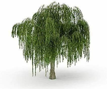 Dwarf Weeping Willow Tree Thick Trunk Cutting Exotic Bonsai Material