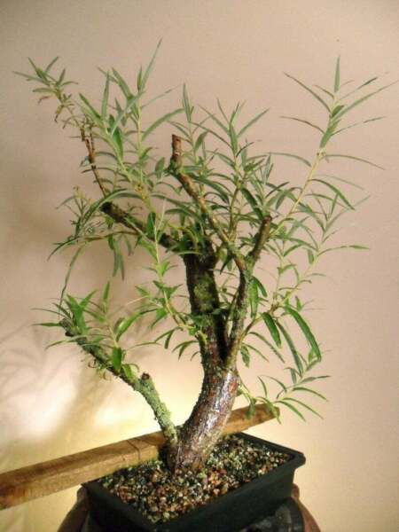 Bonsai Hybrid Willow Tree Thick Trunk Cutting Exotic Bonsai Material