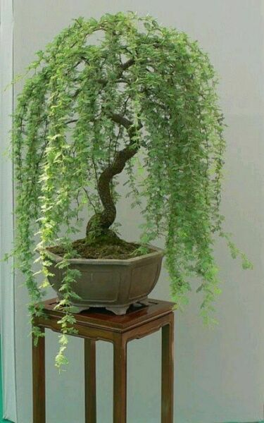 Bonsai Green Weeping Willow Tree Thick Trunk Cutting Exotic Bonsai Material