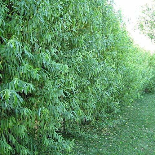 10 Hybrid Willow Tree Cuttings Grow 10 Fast Growing Trees