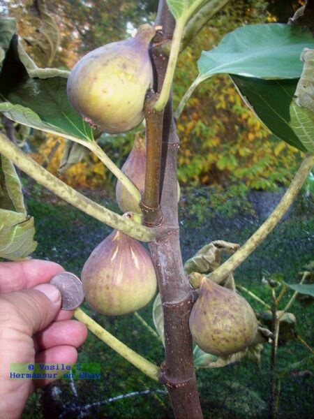 Fig tree cuttings Italian 258 most delicious large fruits 5 pieces