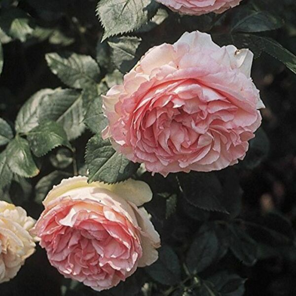 Eden Climbing Pink Hardy Rose Bush Easy To Grow Starter Plant 3.5quot; X 5quot; Pot