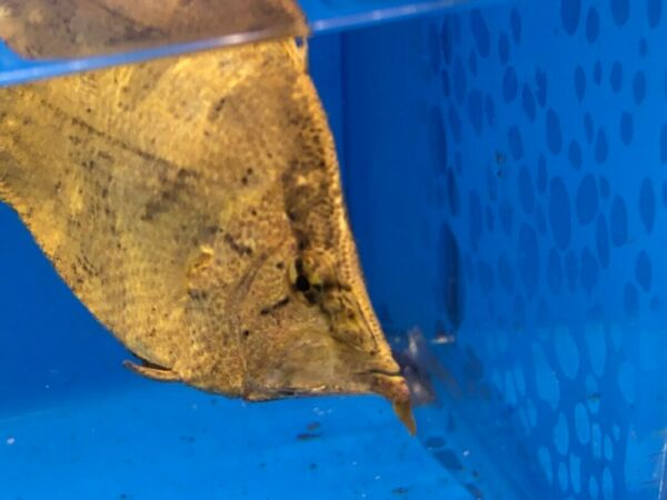 Leaf fish 3quot;in length live tropical fish $39.99