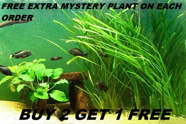 6 Vallisneria Jungle Val plants Fresh Live Aquarium Plants BUY2GET1FREE $8.39