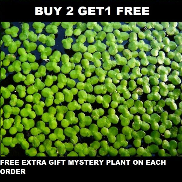 1000 duckweed indoor grown live organic aquarium BUY2GET1 FREE extra plant $6.99