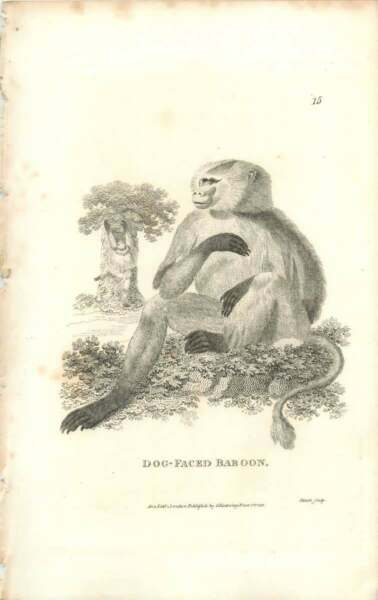 1800 Dog Faced Baboon Engraved Mammal Plate Shaw GBP 9.00