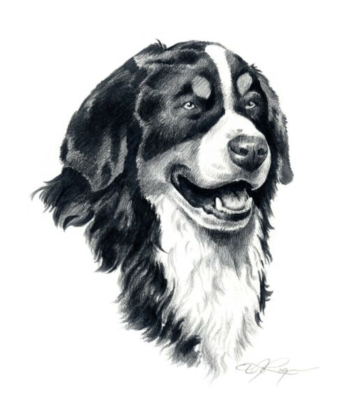 BERNESE MOUNTAIN DOG Pencil Drawing 8 x 10 ART Print by Artist DJ Rogers wCOA