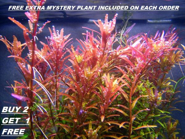 BUY 2 GET 1 FREE Rotala Rotundifolia RED Live Aquarium Plant Aquatic Plant $8.39