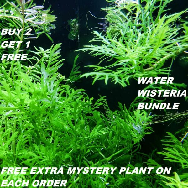 Hygrophila Difformis Bunch Water Wisteria Live Aquarium Plants BUY2GET1FREE $8.39