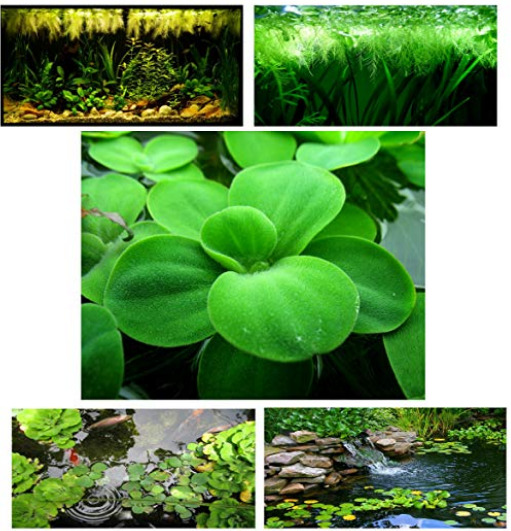 Small Water Lettuce bonus water spangles Live Floating Aquarium Plants $12.45