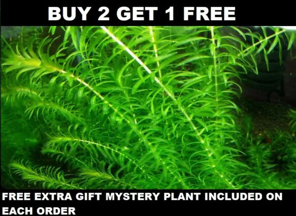 Anacharis Elodea Densa Live Aquarium Plants one bunch BUY 2 GET 1 FREE $7.99