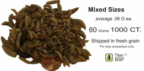 LIVE Black Soldier Fly Larvae grain fed indoors WASHED 1000 MIXED Size 60G
