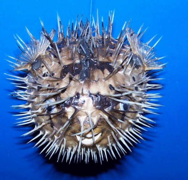 1 PORCUPINE BLOW FISH 3quot; TAXIDERMY W HANGER DRIED FISH $7.12