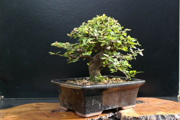3 5 year old pre bonsai tree Chinese elm cutting