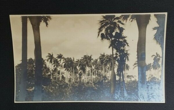 Vintage Silver Gelatin Photo of Cuban Jungle with Palm Trees $35.00