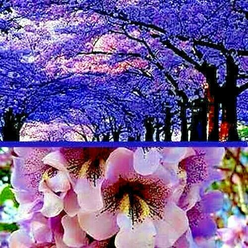 100 Royal Empress Paulownia tomentosa Seeds FASTEST GROWING TREE in the WORLD