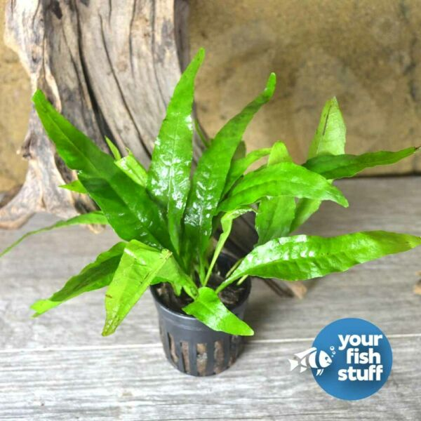 Java Fern Microsorum pteropus Potted Live Aquarium Plant **Buy 1 Get 1 50% OFF** $8.55