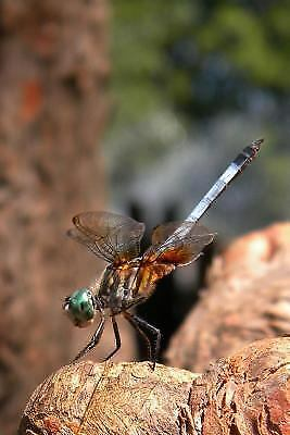 The Perching Dragonfly Journal : 150 Page Lined Notebook/diary by Cool Image...