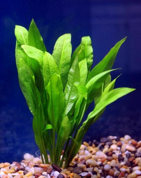 *BUY 2 GET 1 FREE* Amazon Sword Echinodorus Bleheri Live Aquarium Plants Rooted✅ $9.49