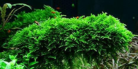 *BUY 2 GET 1 FREE* Christmas Moss Live Aquarium Plant Aquatic Plants Java Moss ✅ $8.99