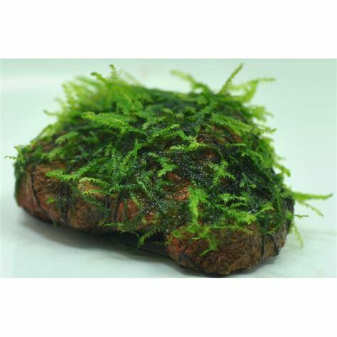 *BUY 2 GET 1 FREE* Willow Moss On Lava Rock Live Aquarium Plant Java Moss ✅ $10.99