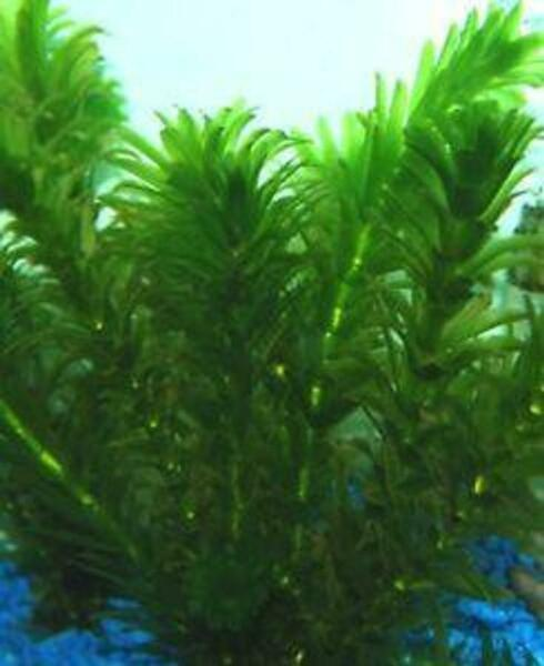 *BUY 2 GET 1 FREE* Anacharis Elodea Egeria Densa Easy Live Aquarium Plants ✅ $8.99