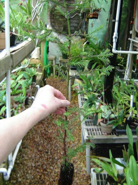 Rescue me! Fast-growing California redwood tree plug about 3 feet high
