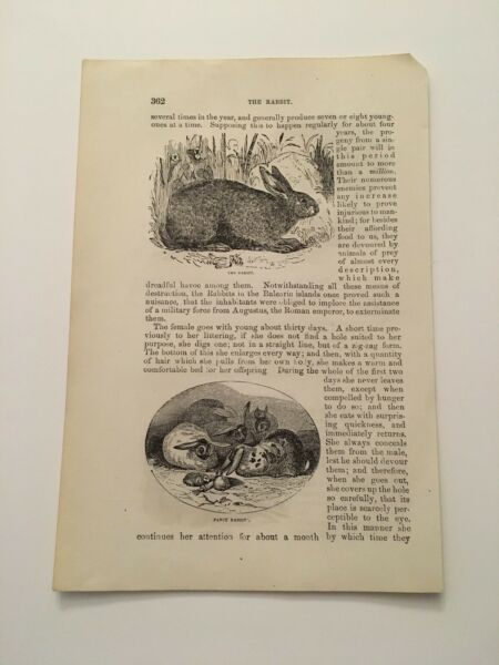T1 The Rabbit Fancy Dogs Hunting The Hare Animal Kingdom c.1870 Engraving $9.95