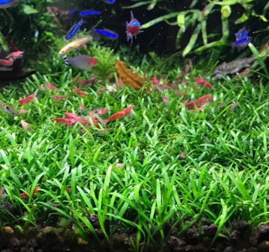 *BUY 2 GET 1 FREE* Cryptocoryne Parva Crypt Parva Easy Live Aquarium Plants ✅ $8.99