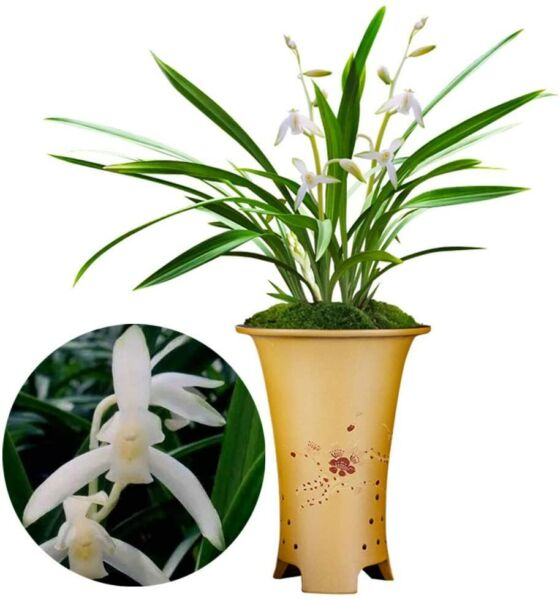 Fragrant Cymbidium Orchid Garden Flower Snow White Shipped Without Flowers