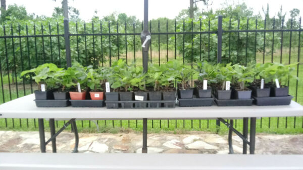 Live Fig Trees for sale. Well rooted in 1 quart pots. $35 for 2 Free shipping.