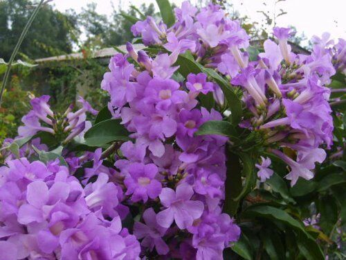 GARLIC VINE Semi-Tropical Vine Plant Showy Purple Trumpet Flowers Spring Fall
