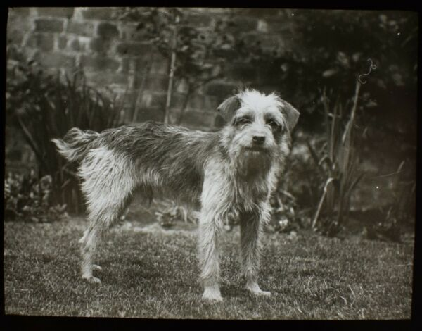 Glass Magic Lantern Slide DOG CALLED JACK C1910 EDWARDIAN PHOTO GBP 15.00