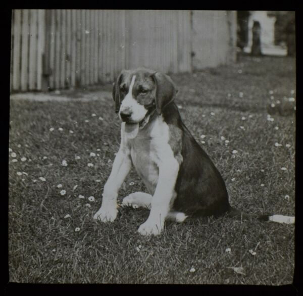 Glass Magic Lantern Slide DOG SITTING ON THE GRASS C1910 EDWARDIAN PHOTO GBP 15.00