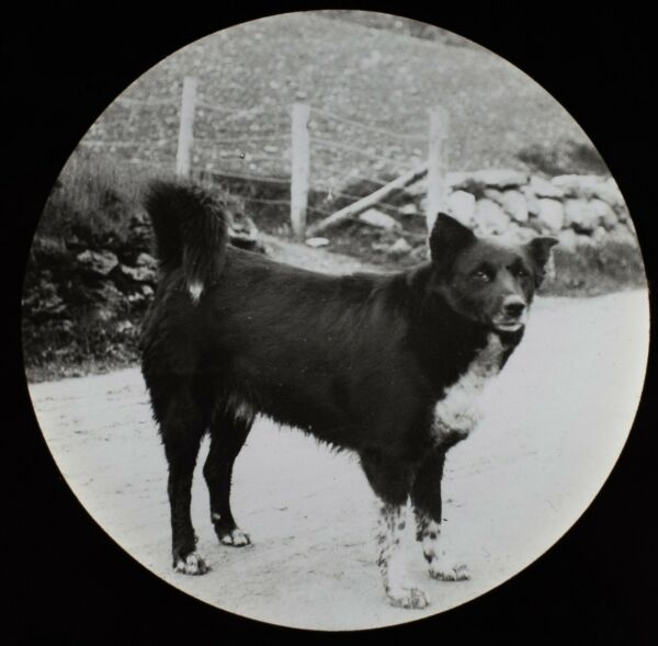 Magic Lantern Slide DOG ON A COUNTRYSIDE PATH C1910 EDWARDIAN PHOTO GBP 15.00