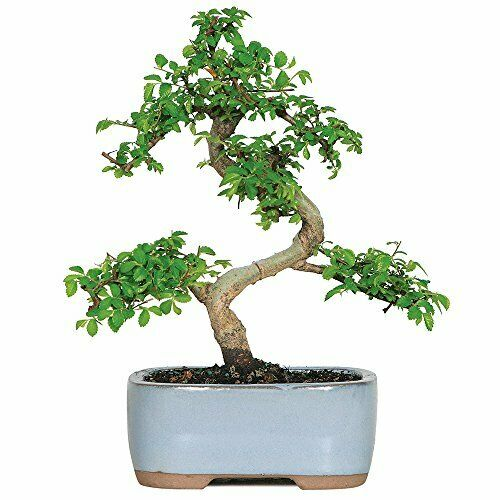 Live Chinese Elm Outdoor Bonsai Tree 5 Years Old 6quot; to 8quot; Tall with Container