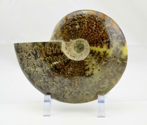 e5082xx WHOLE Ammonite GREAT SUTURE Pattern Dinosaur 110myo Fossil XL 183mm 7.0
