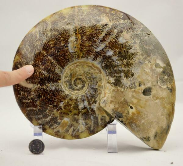 e2969xx WHOLE Ammonite GREAT SUTURE Pattern Dinosaur 110myo Fossil XL 198mm 7.8