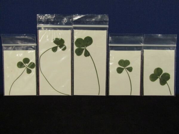 Lot of 5 🍀 Real 4 Four Leaf Clovers 🍀 Good Luck 🍀 Lucky Charm