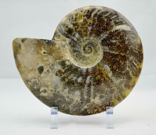 WHOLE Ammonite GREAT SUTURE Pattern XXL Dinosaur age Fossil 198mm 7.8