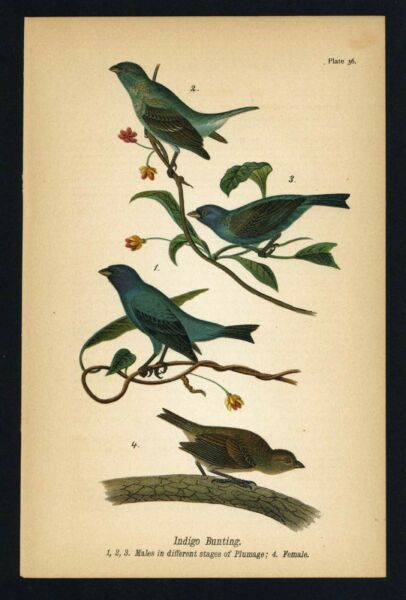 INDIGO BUNTING Vintage 1890 Chromolithograph Color Print Antique 036