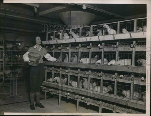 1937 Press Photo 8000 chickens live close to the Loop and produce 4000 eggs