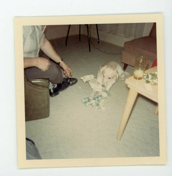 Pet dog opening Christmas present vintage snapshot found color photo $9.99