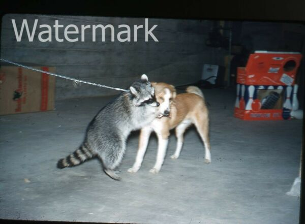 1960s kodachrome Photo slide Dog and Raccoon #1 $9.99