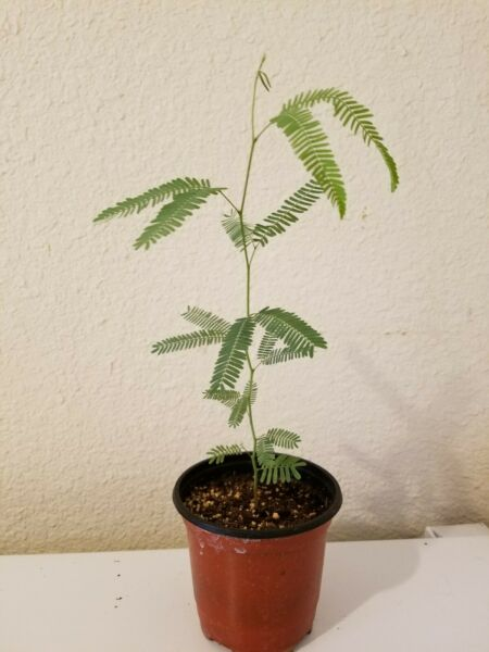 Thornless Chilean Mesquite Tree Seedlings FAST GROWING FREE SHIPPING