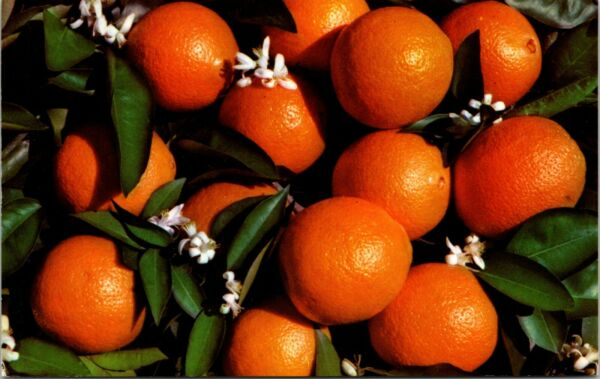 Delicious Oranges Produce of Great State of California Vintage Postcard