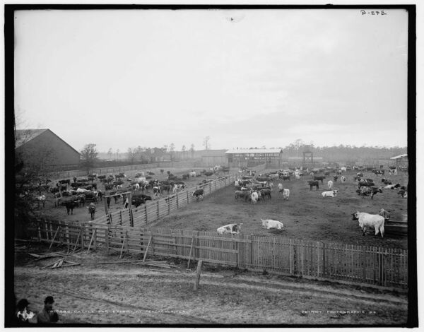 1900 Photo of Cattle for export at Pensacola Fla h $32.50