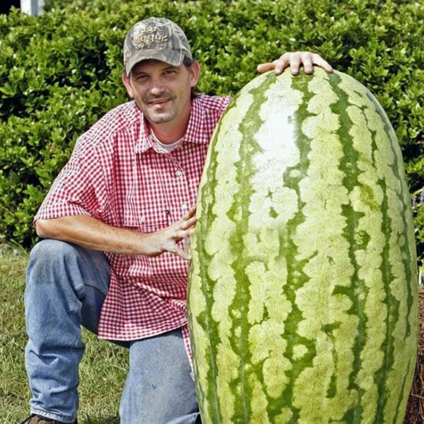 50 Giant Watermelon Seeds Delicious Sweet Home Decoration Fruit Seeds S064